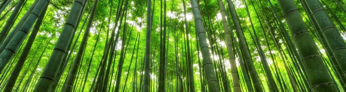 Bamboo forest with sunlight shining through.