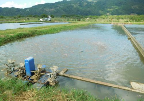 Algix Jamaica Ltd. fish feeding in the field.
