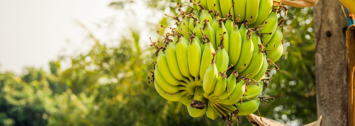 Caribbean Products Allowed Extended Duty-Free Access to United States Market. Photo of a bunch of bananas on a tree.